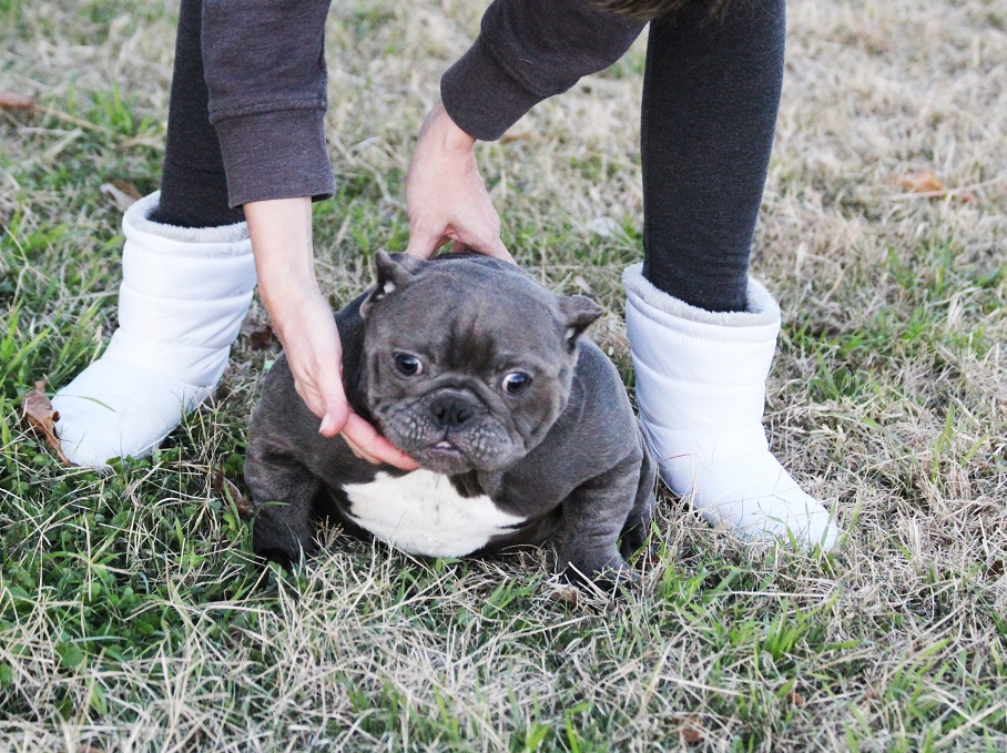 Exotic Bullies For Sale Toadline Bullies Exotic Bully Kennel Micro
