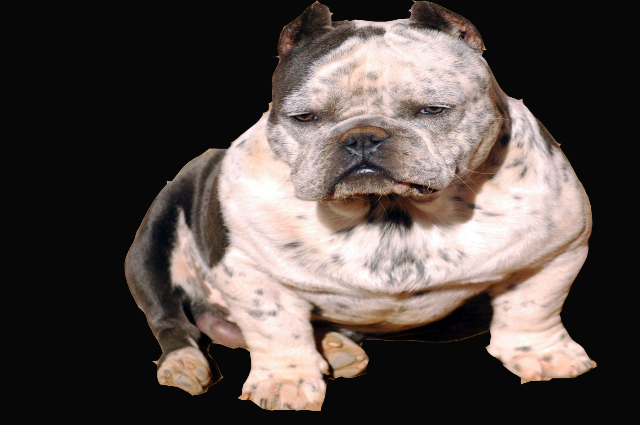 TOADLINE EXOTIC BULLIES - Official Toadline Site, GOTTIILINE
